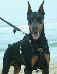 Doberman Harness Doberman Dog Harness Doberman Dog