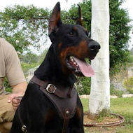 dog harnesses for doberman pinscher