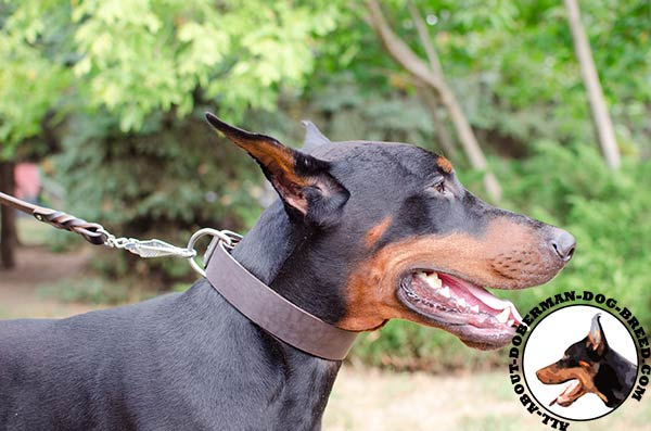 Leather collar for comfortable walking with your Doberman