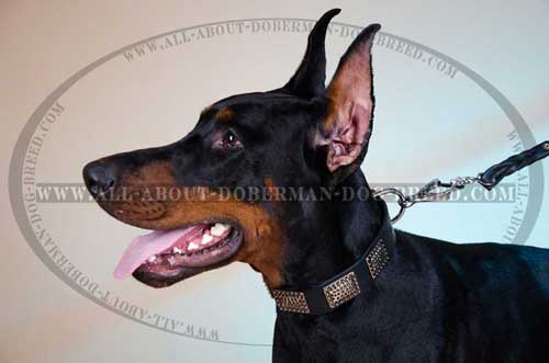 Comfortable genuine quality Doberman collar