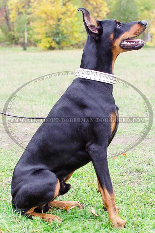 Spiked leather collar for Doberman