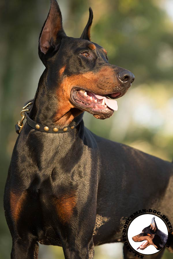 Doberman leather collar of classic design decorated with studs for quality control