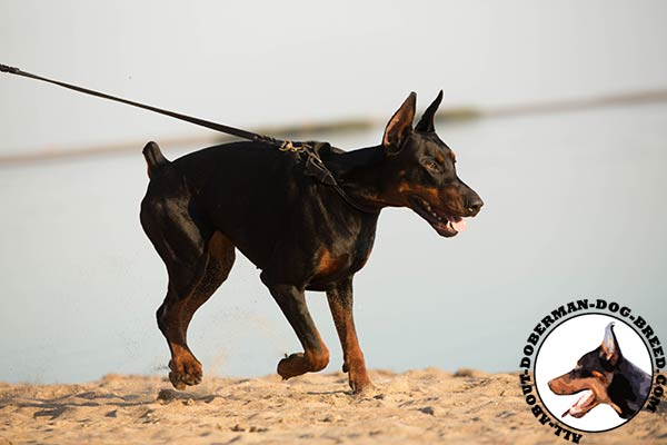 Doberman leather collar of lightweight material with brass plated hardware for any activity