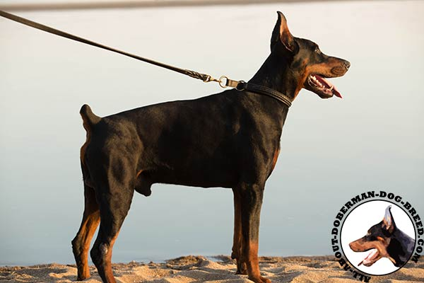 Doberman leather collar with non-corrosive fittings for daily activity
