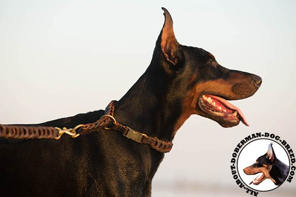 Doberman leather collar of genuine materials with brass plated hardware for walking in style