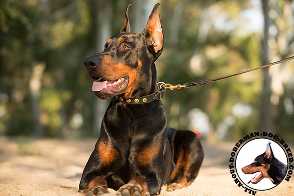 Doberman leather collar with strong hardware for quality control