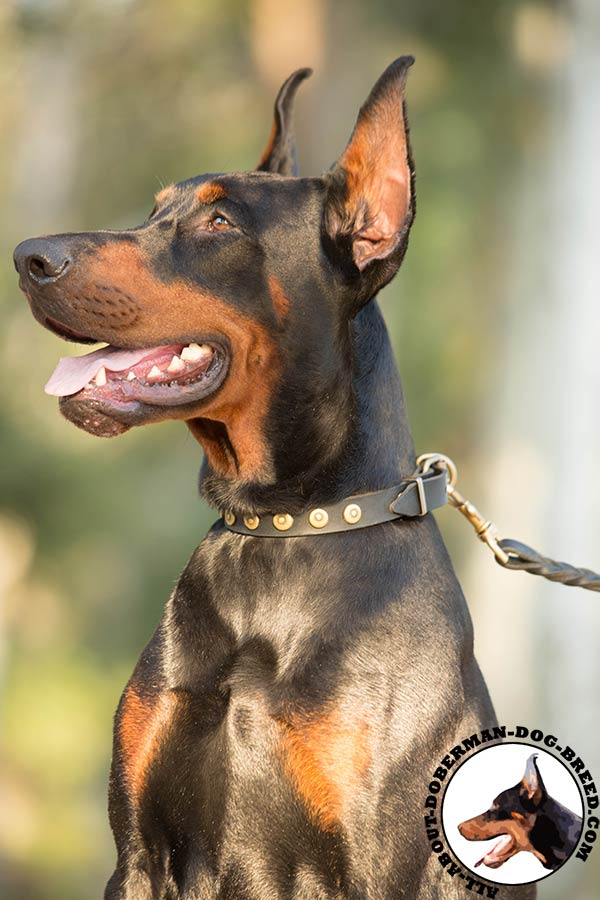 Doberman black leather collar of classy design with studs for any activity