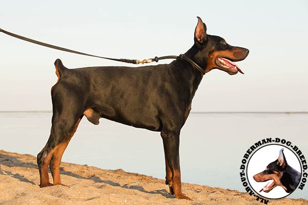 Doberman leather collar with reliable fittings for walking
