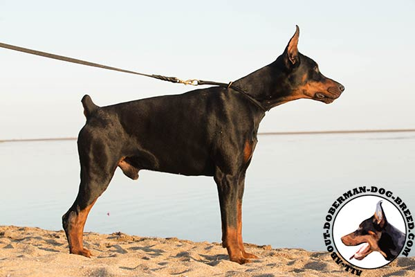 Doberman black leather collar with durable fittings for walking