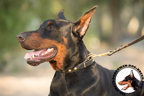 Doberman black leather collar with rustless fittings for any activity