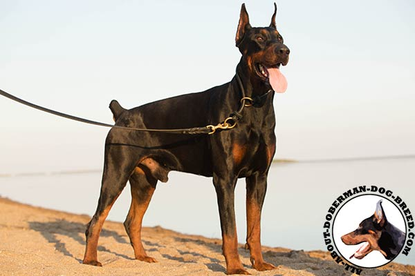 Doberman leather collar with non-corrosive fittings for professional use