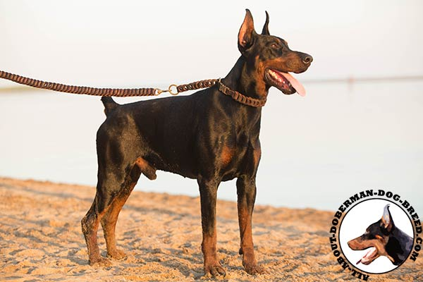 Doberman brown leather collar of lightweight material with quick release buckle for walking