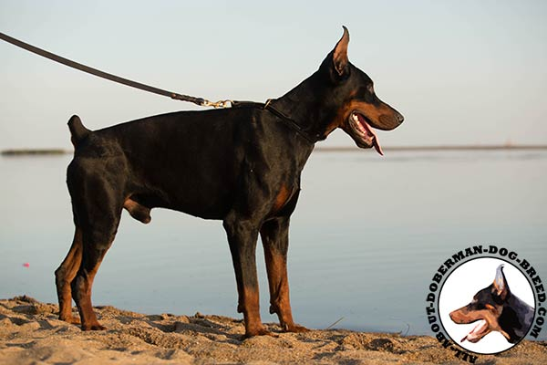 Doberman leather collar with strong hardware for any activity