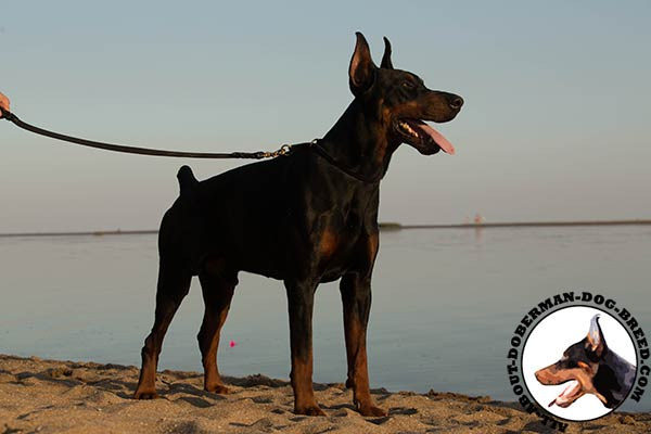 Doberman leather collar of lightweight material with brass plated hardware for daily walks