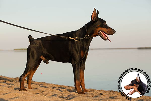 Doberman black leather collar with durable brass plated fittings for improved control