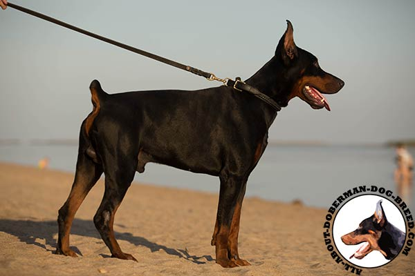 Doberman leather collar with rust-resistant fittings for professional use