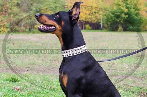 High quality elegant leather collar for Doberman