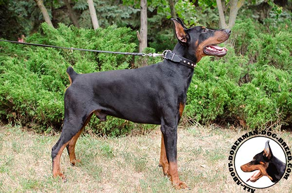 Leather collar for stylish Doberman Dog