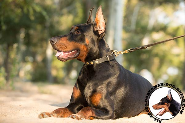 Gorgeous Doberman collar with brass dotted circles