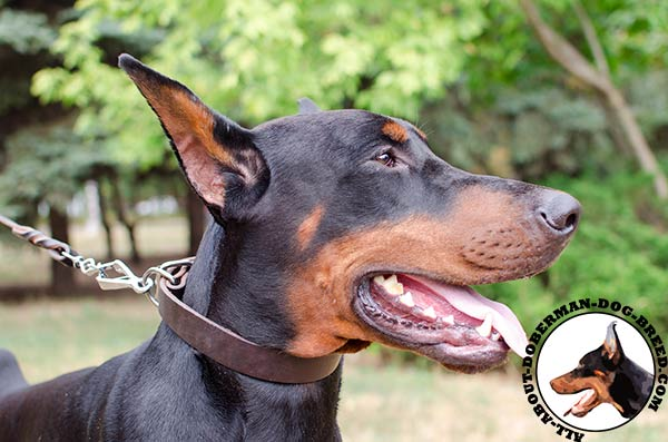 Leather Doberman collar for everyday use