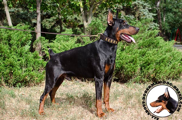 Reliable leather decorated collar for strong Doberman