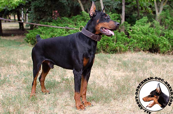 Handmade leather collar for Doberman Breed