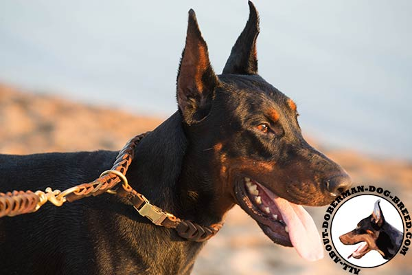 Doberman choke collar for safe walking