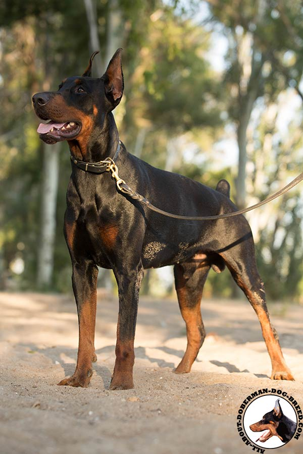 Reliable leather Doberman collar with circles