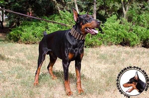 Stunning leather collar with brass spikes for Doberman
