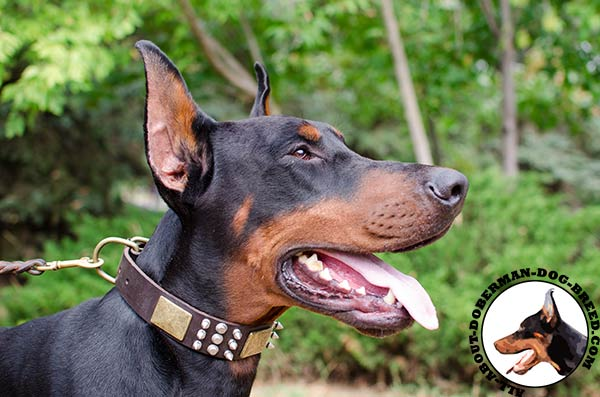 Stylish leather collar for powerful Doberman