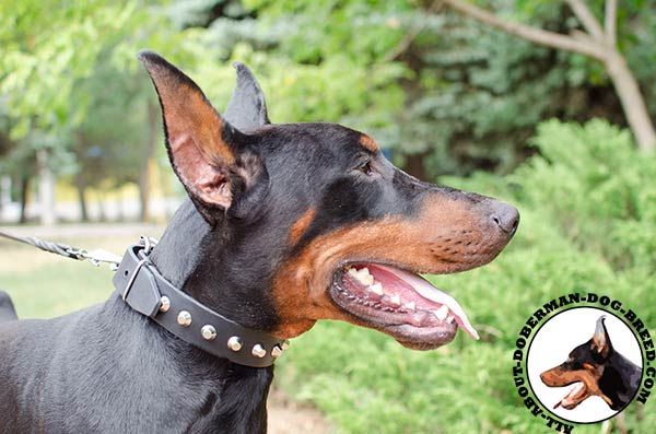Strong leather decorated collar for Doberman