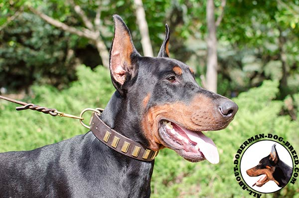 Strong and soft leather Doberman collar for daily use