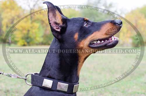 Nylon Doberman collar with nickel plates