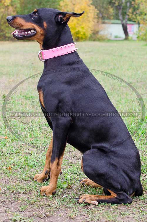 Good fit leather collar for Doberman