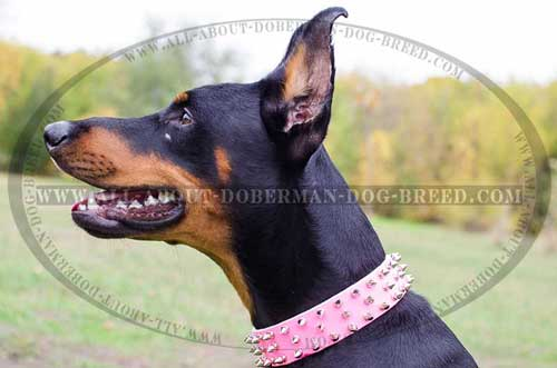 Luxury walking leather Doberman collar