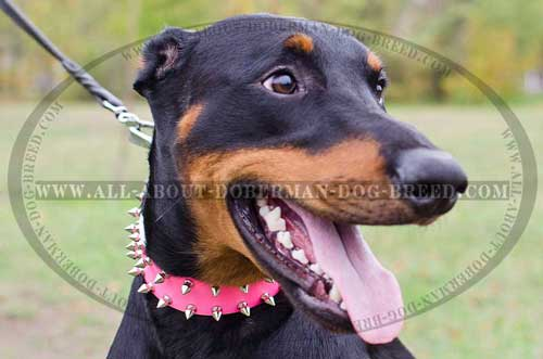 Super durable leather collar for Doberman