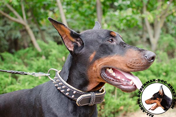 Doberman leather collar with nickel spikes