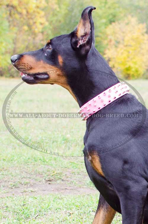 Pink leather Doberman collar for stylish walks