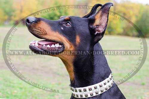 Daily walking white leather Doberman collar