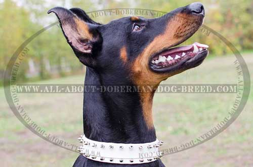 White leather collar for your Doberman