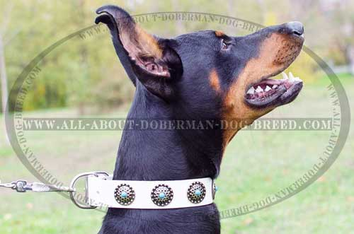 White leather Doberman collar with luxury blue stones