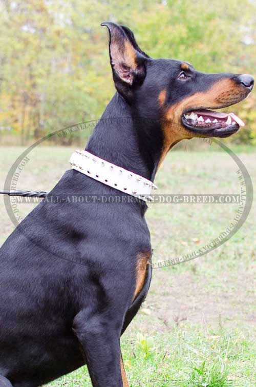 Wide spiked leather Doberman collar