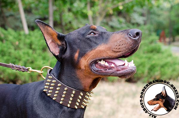 Leather Doberman collar with spikes for walking