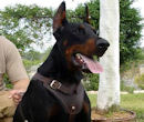 Doberman Dog Harnesses