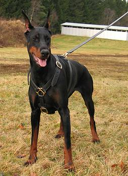 ediva doberman dog harness leather supplies