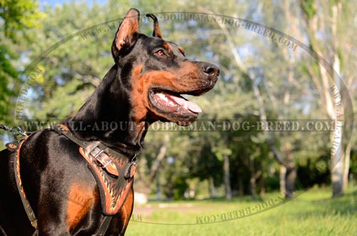 Comfortable leather harness for Doberman