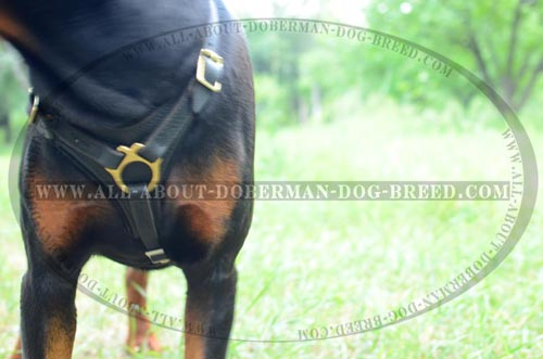 Completely safe Doberman harness