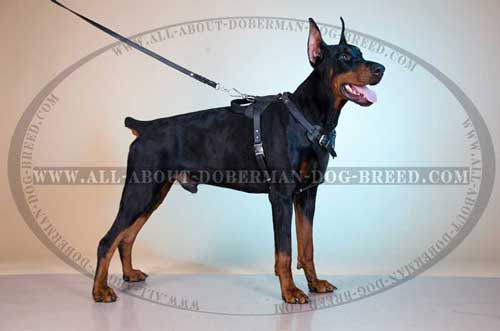Comfortable Leather Doberman Harness