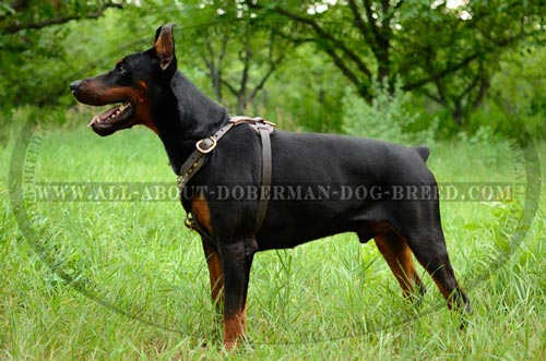 Extra comfort leather harness for Doberman