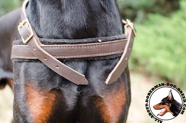 Leather harness for stylish Doberman walking